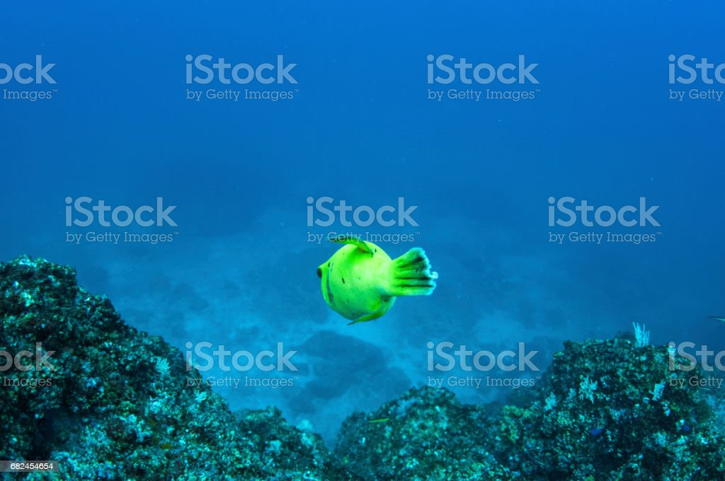 tail back end of yellow pufferfish stock photo
