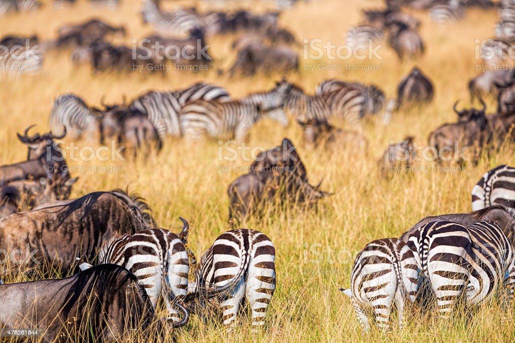 Tail ends of zebras - feeding stock photo