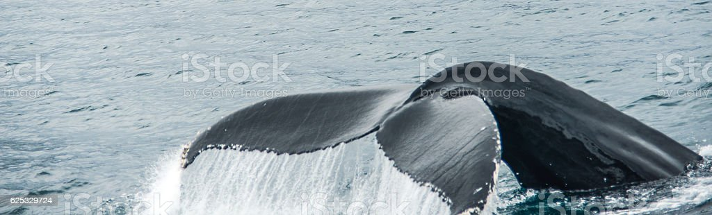 tail fin of humpback whale in artic ocean stock photo