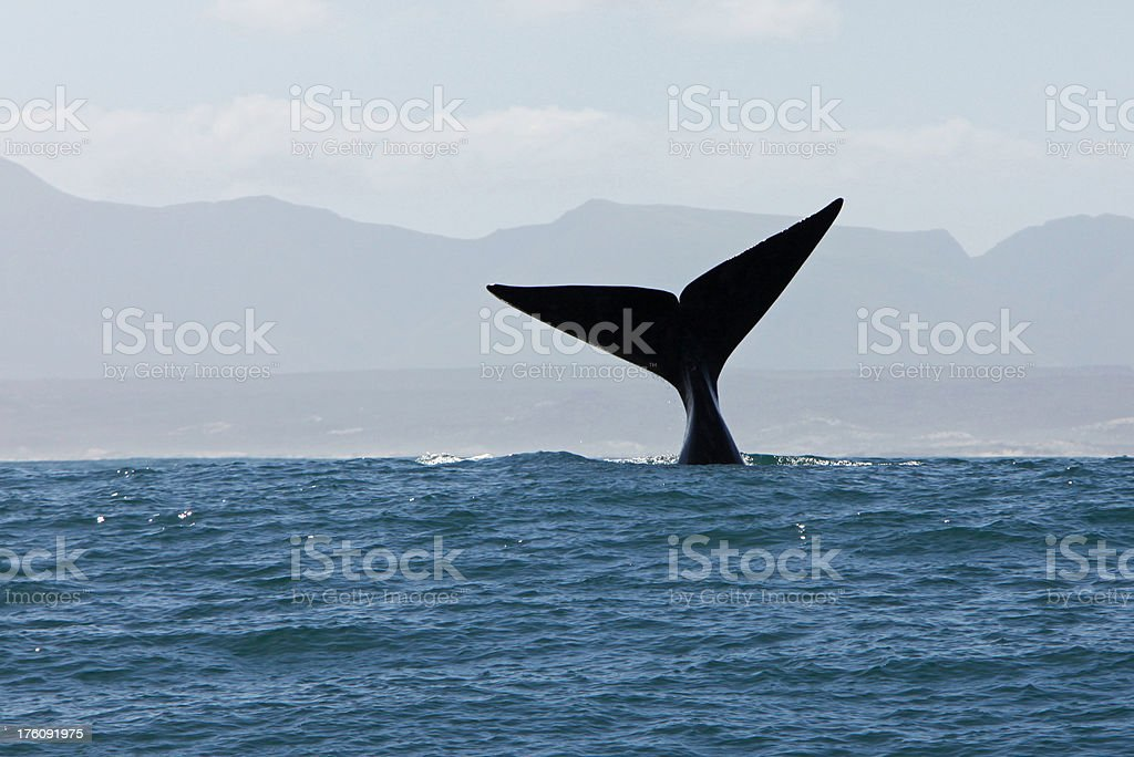 Tail Fin of SOuthern Right Whale in Water stock photo