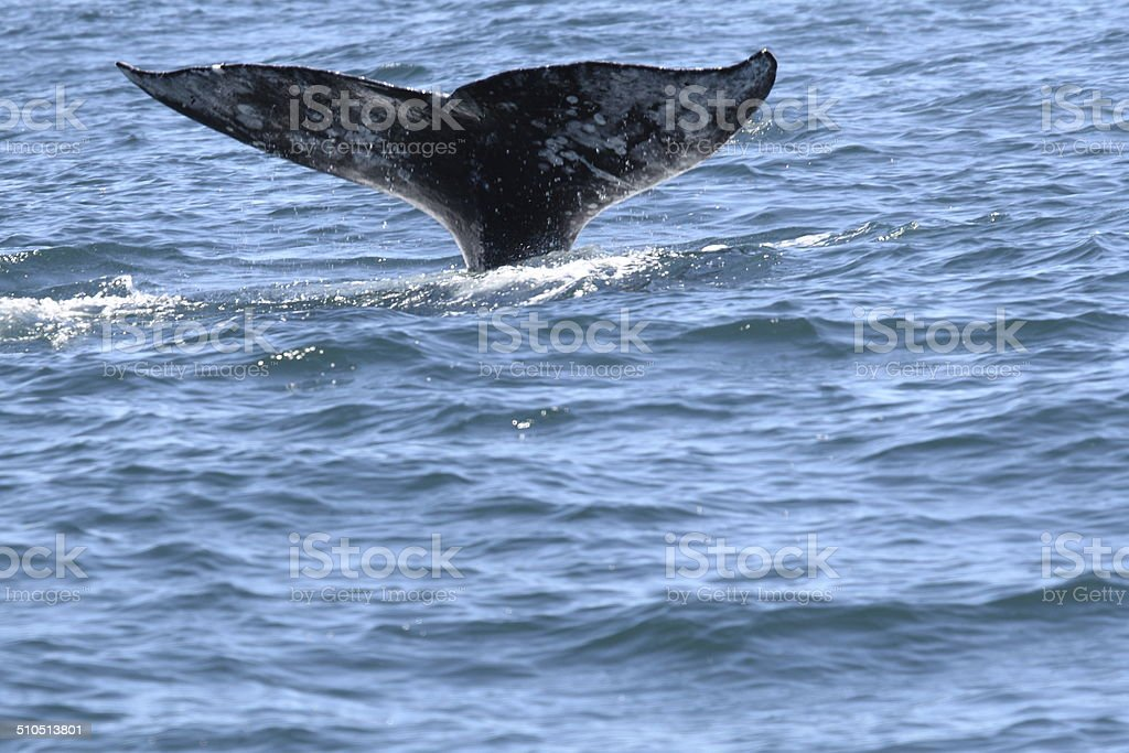 Tail of a Gray Whale Diving stock photo