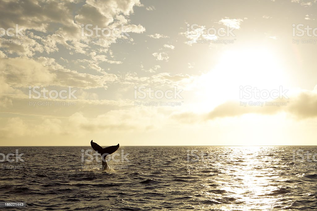 A tail of a humpback whale during sunset stock photo