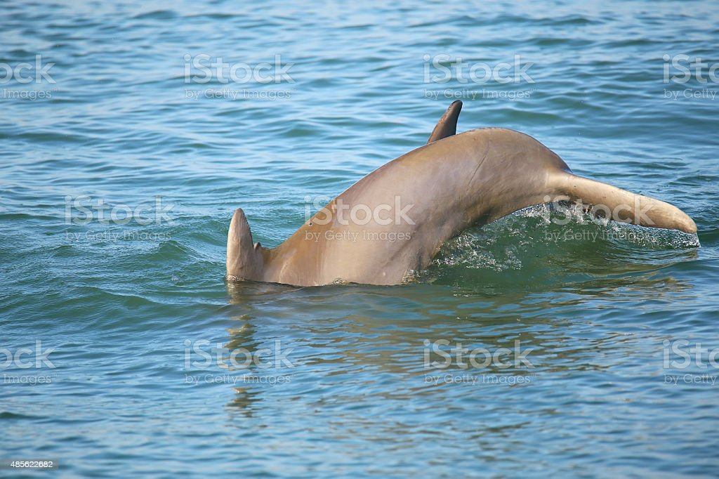 Tail of diving Common bottlenose dolphin stock photo