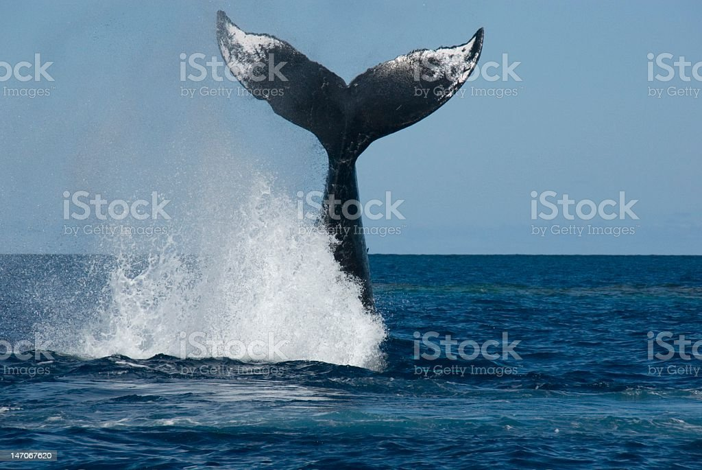 Tail of humpback whale splashing water in the ocean stock photo