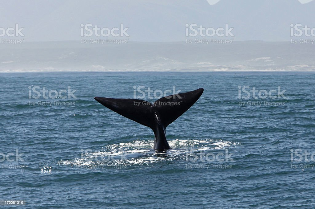 Tail of Southern Right Whale stock photo