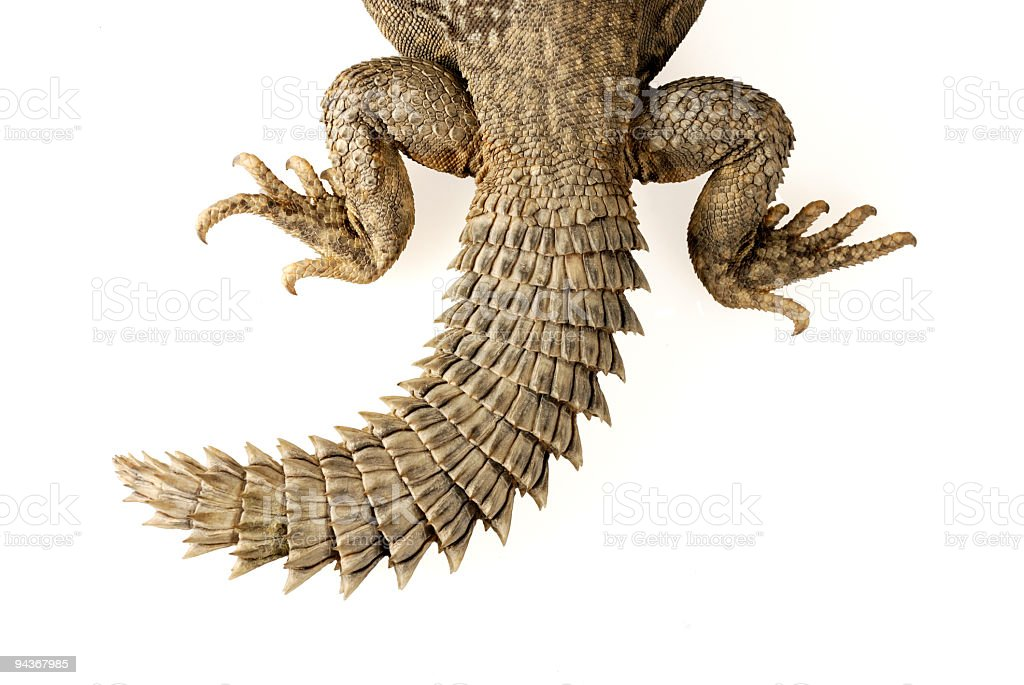 Tail of Uromastyx geyri royalty-free stock photo