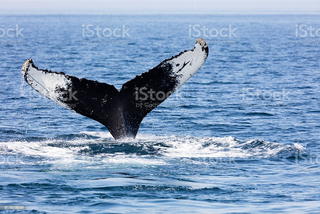 Tail of Whale, Cape Cod stock photo