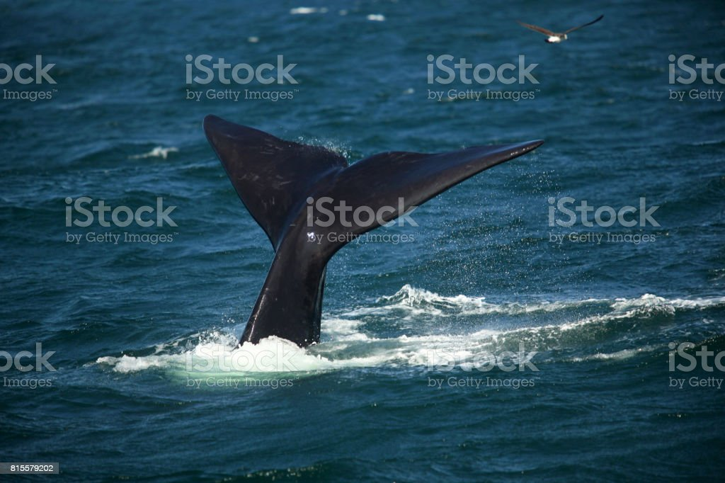 Tail over the water of a diving southern smooth whale stock photo