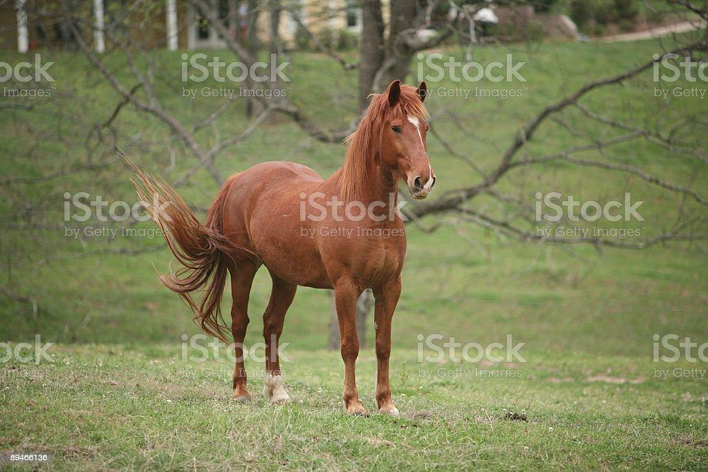 Tail Swishing Horse stock photo