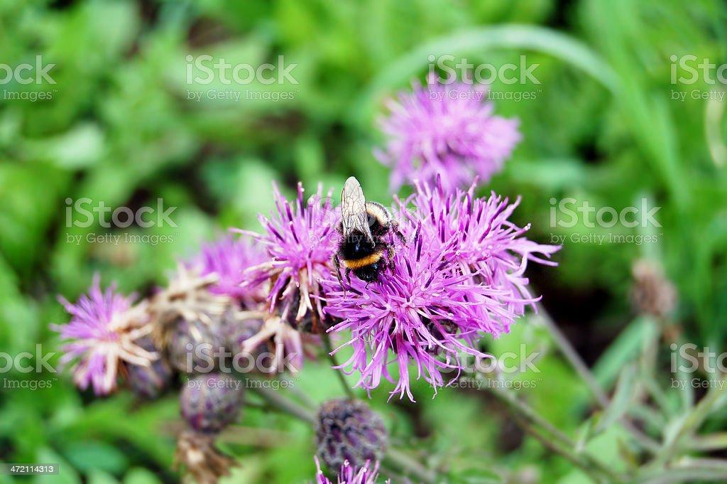 tailed bumblebee (Bombus terrestris) on thistle royalty-free stock photo