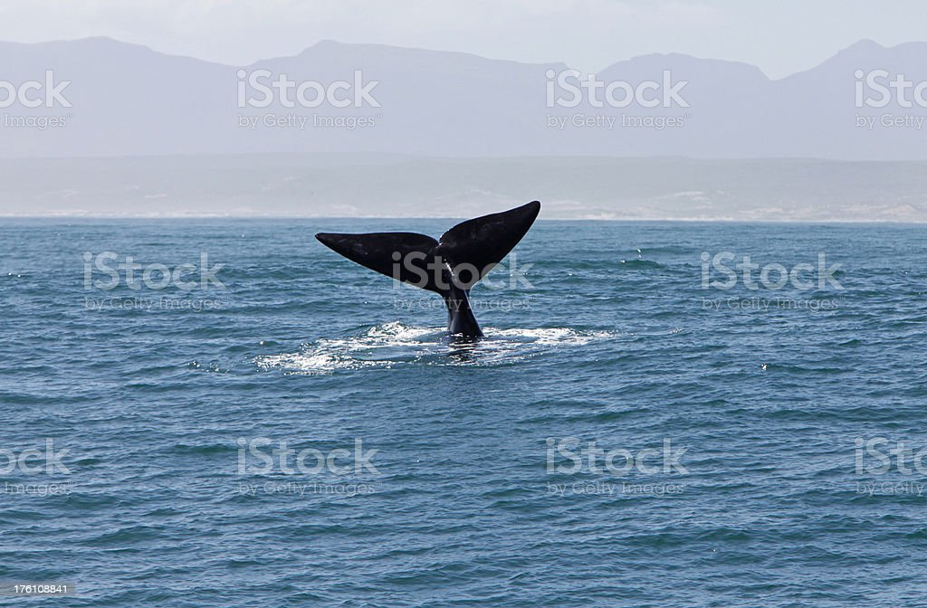 Tailfin Of Southern Right Whale in Water stock photo