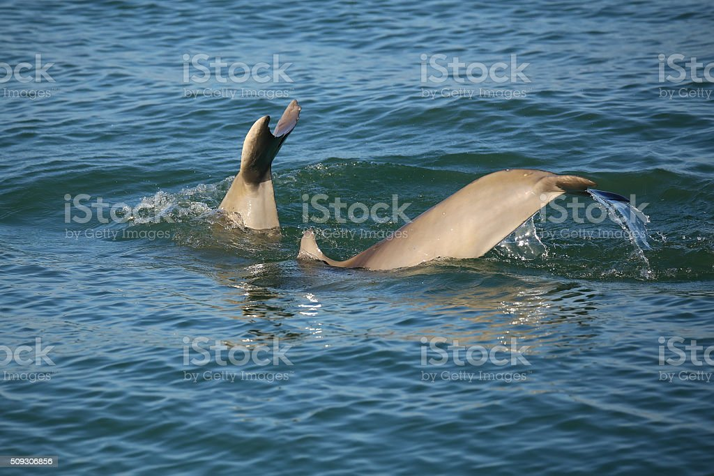 Tails of diving Common bottlenose dolphins stock photo
