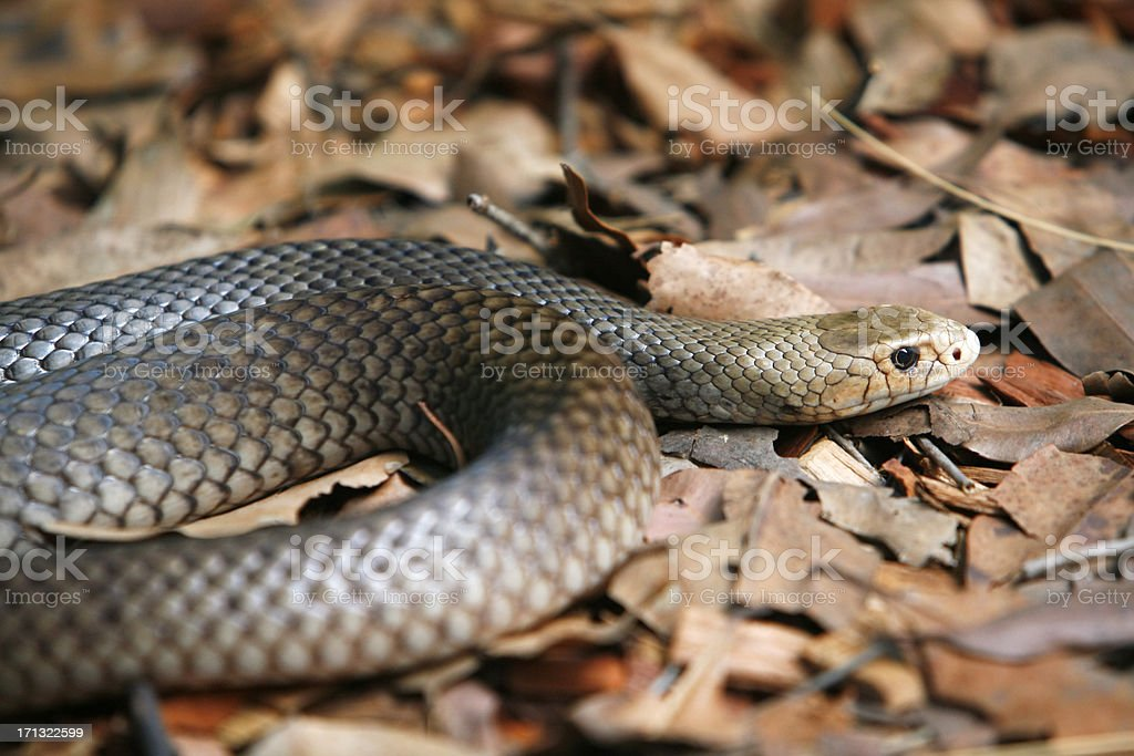 Taipan, one of the world's deadliest snakes stock photo