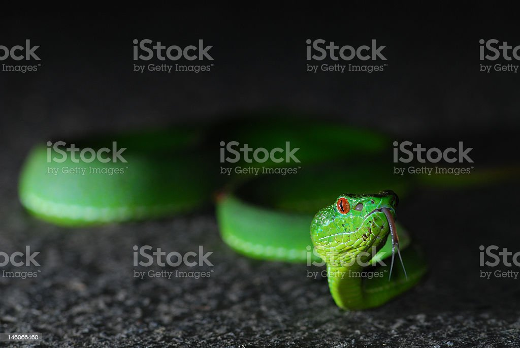 Taiwan Bamboo Viper royalty-free stock photo