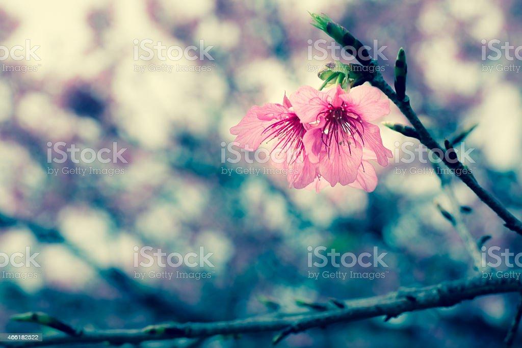 taiwan cherry blossom royalty-free stock photo