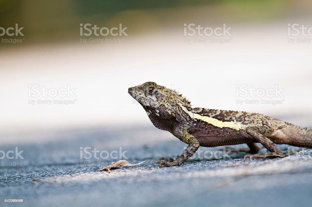 Taiwan japalura,Swinhoe's tree lizard stock photo