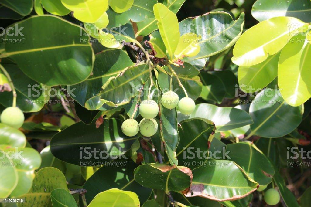 Takamaka Tree, Praslin Island, Seychelles, Indian Ocean, Africa stock photo