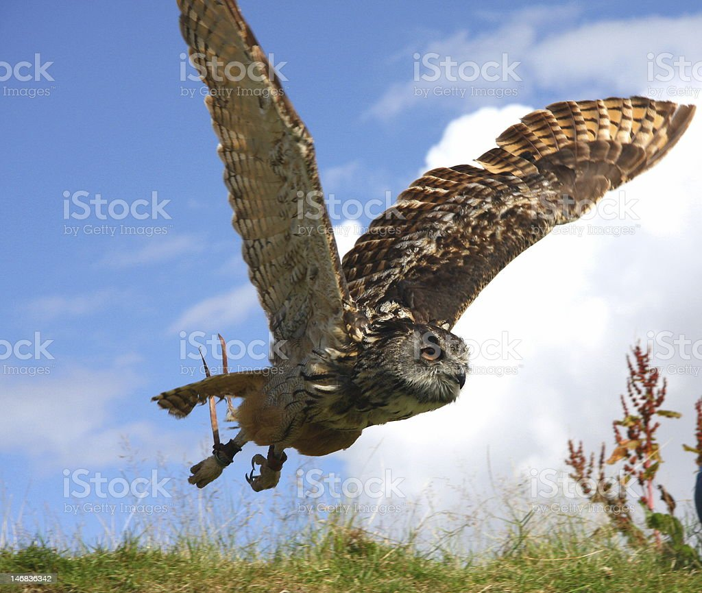 Take Off Owl royalty-free stock photo