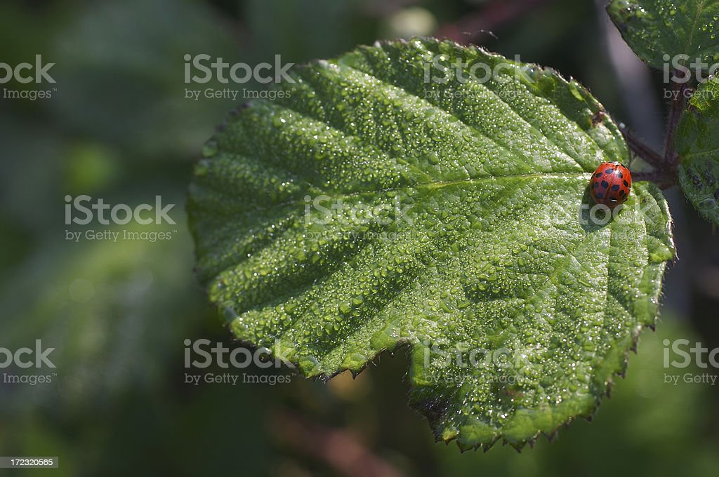 Invasion of the harlequin ladybirds royalty-free stock photo