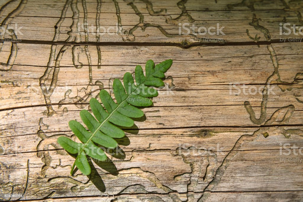 Taking care of nature. Pattern made by bark beetle in the dead forest. stock photo
