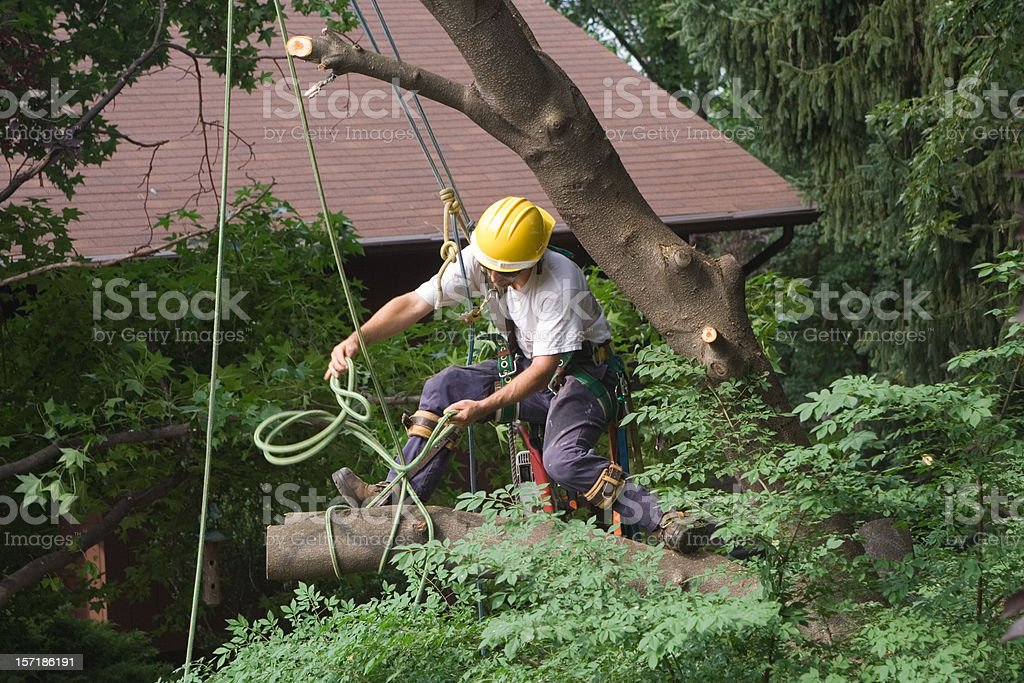 Taking Down the Cherry Tree royalty-free stock photo