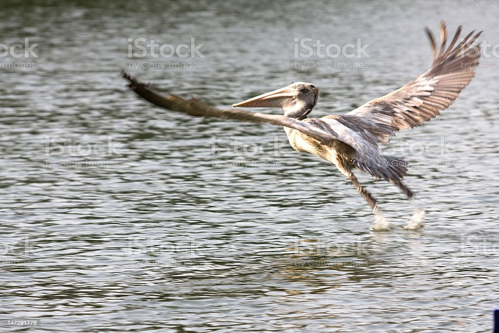 Taking off Bird royalty-free stock photo