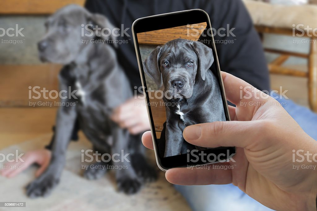 Taking picture of italian cane corso dog stock photo