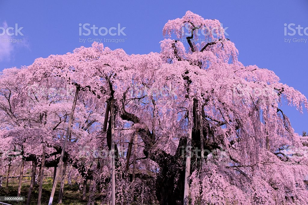 Takizakura stock photo