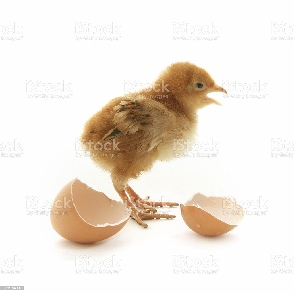 Talkative Chick royalty-free stock photo