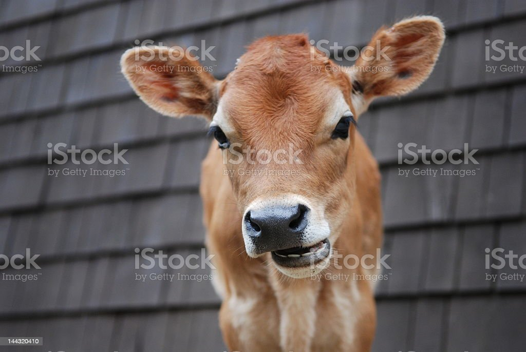 Talking Cow royalty-free stock photo