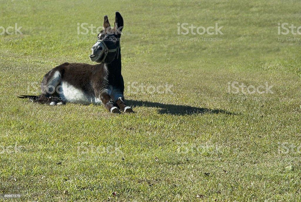 Talking Donkey  'Danny-Boy' royalty-free stock photo