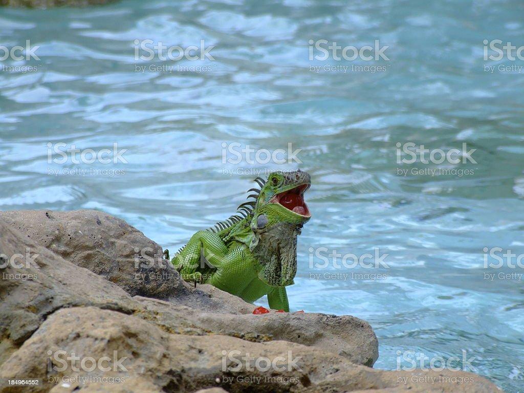 Talking Iguana At The Pool stock photo