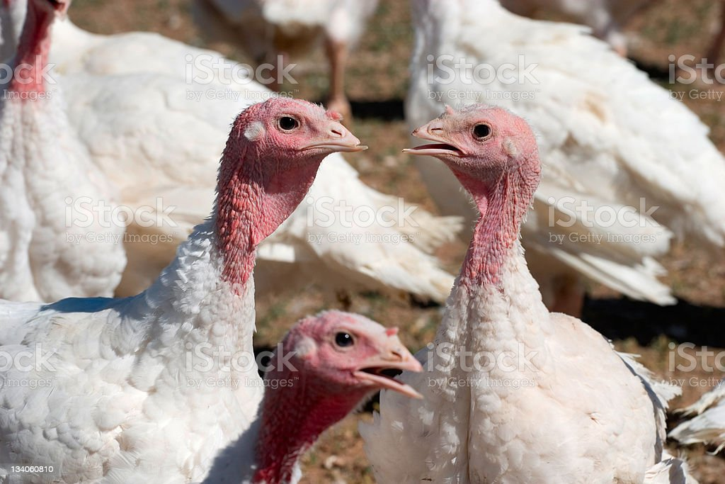 Talking Turkey royalty-free stock photo