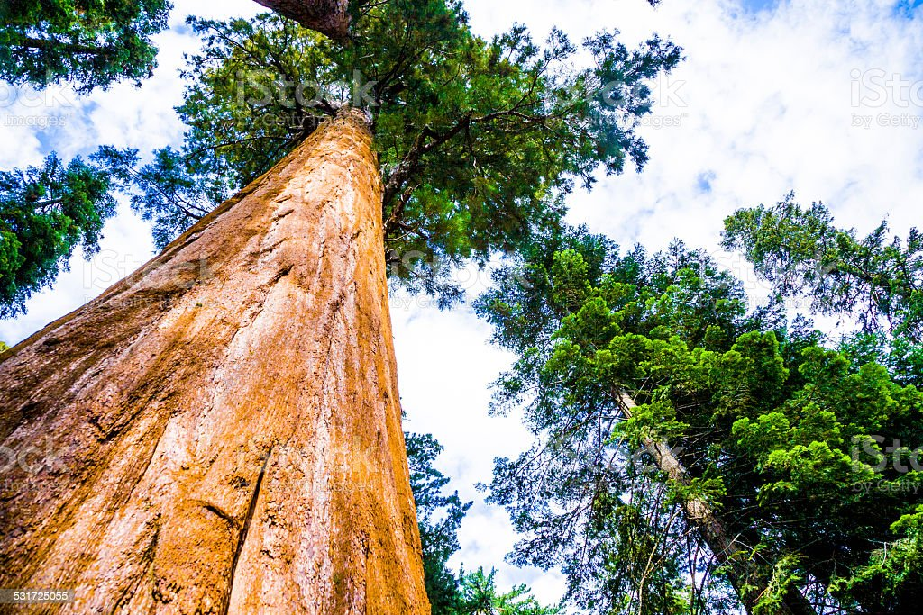 tall and big sequoias in beautiful sequoia national park stock photo