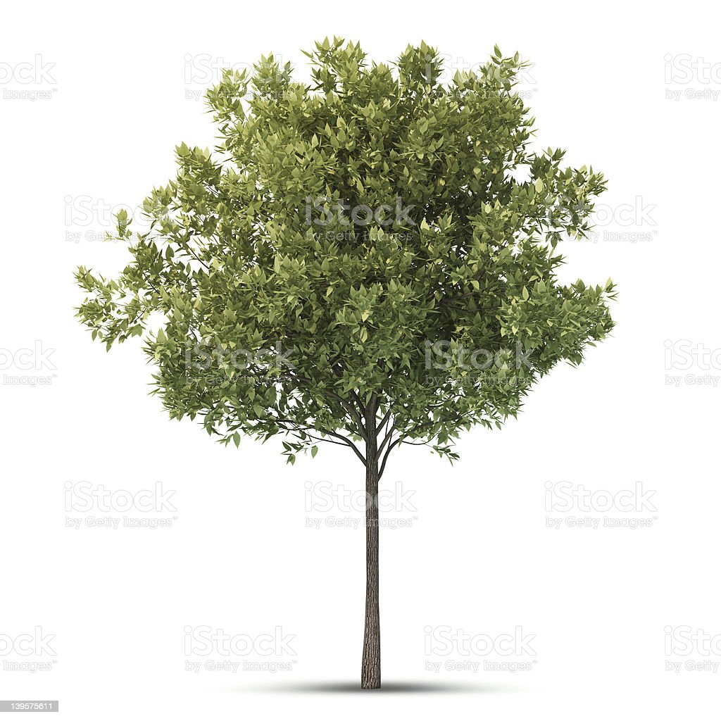 A tall and skinny isolated tree on a white background stock photo