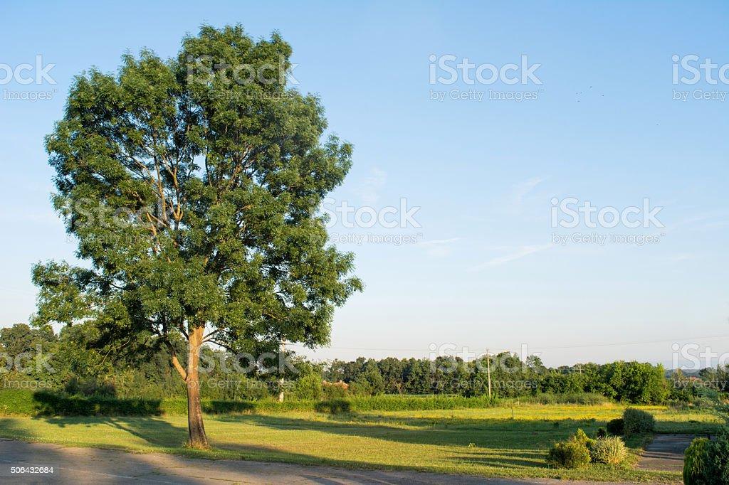 Tall Ash tree stock photo