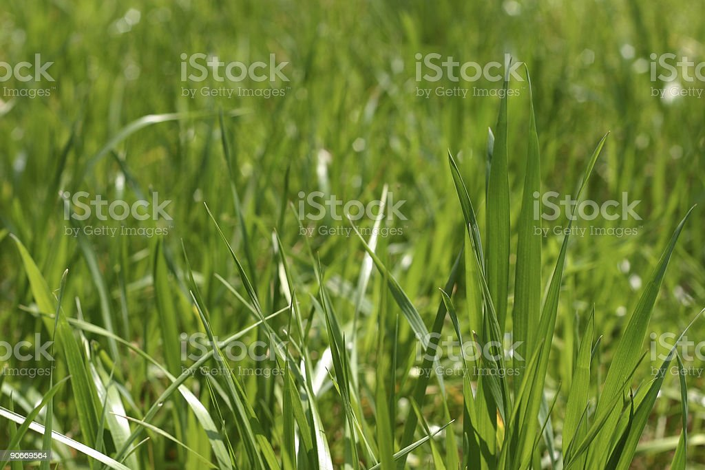 Tall Blades of Green Grass stock photo