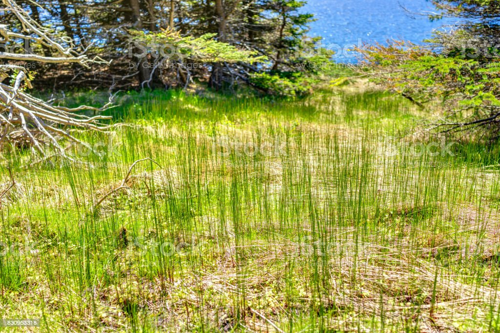 Tall bright green grass on trail in Bonaventure Island, Quebec, Canada by Perce in Gaspesie, Gaspea area stock photo