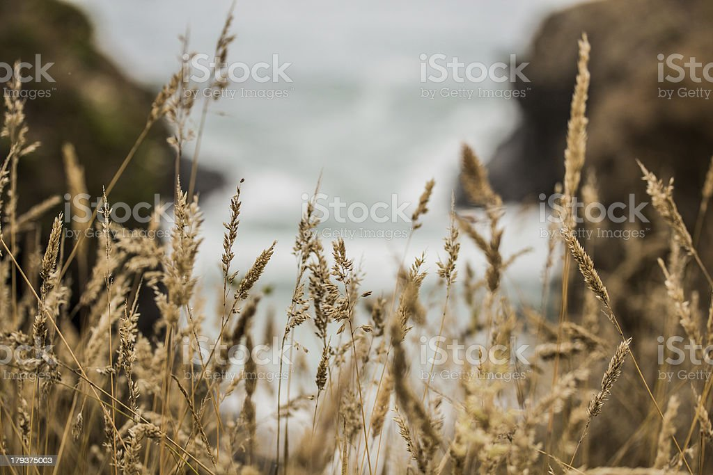 Tall Brown Grass and Ocean royalty-free stock photo