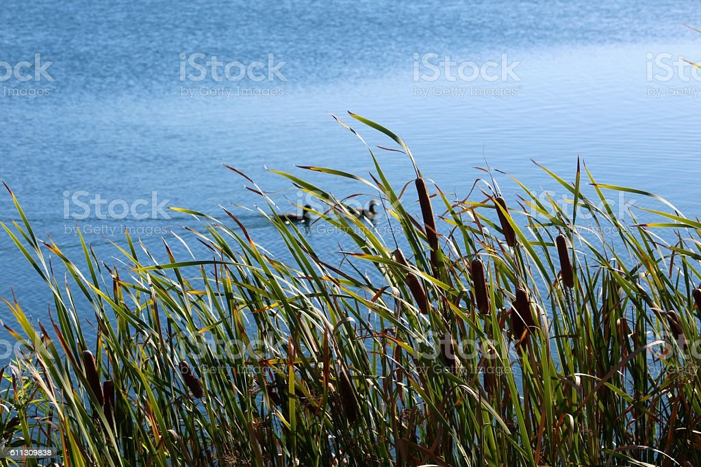 Tall Cattails stock photo