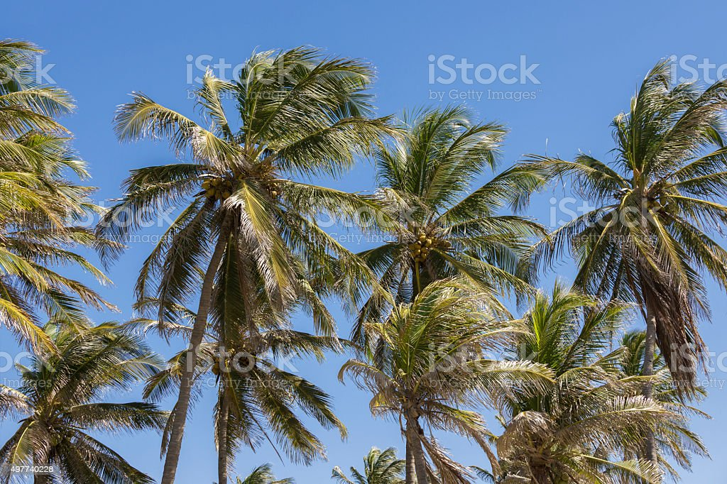 Tall coconut palm trees and clear blue sky stock photo
