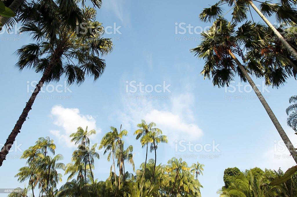 Tall Coconut Palm trees royalty-free stock photo