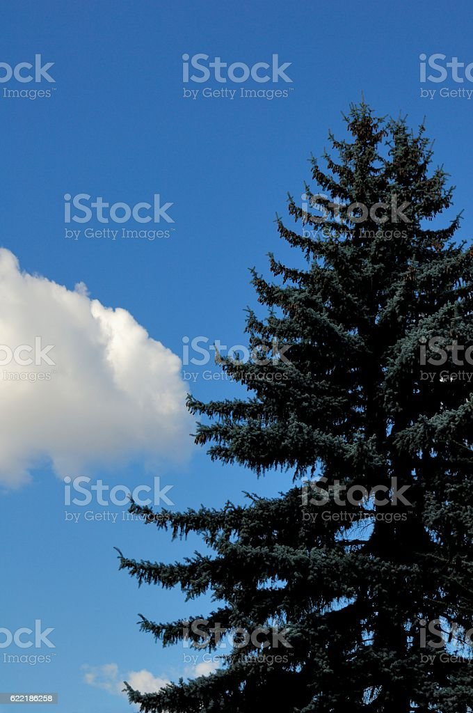 Tall Coniferous Tree And Blue Sky stock photo