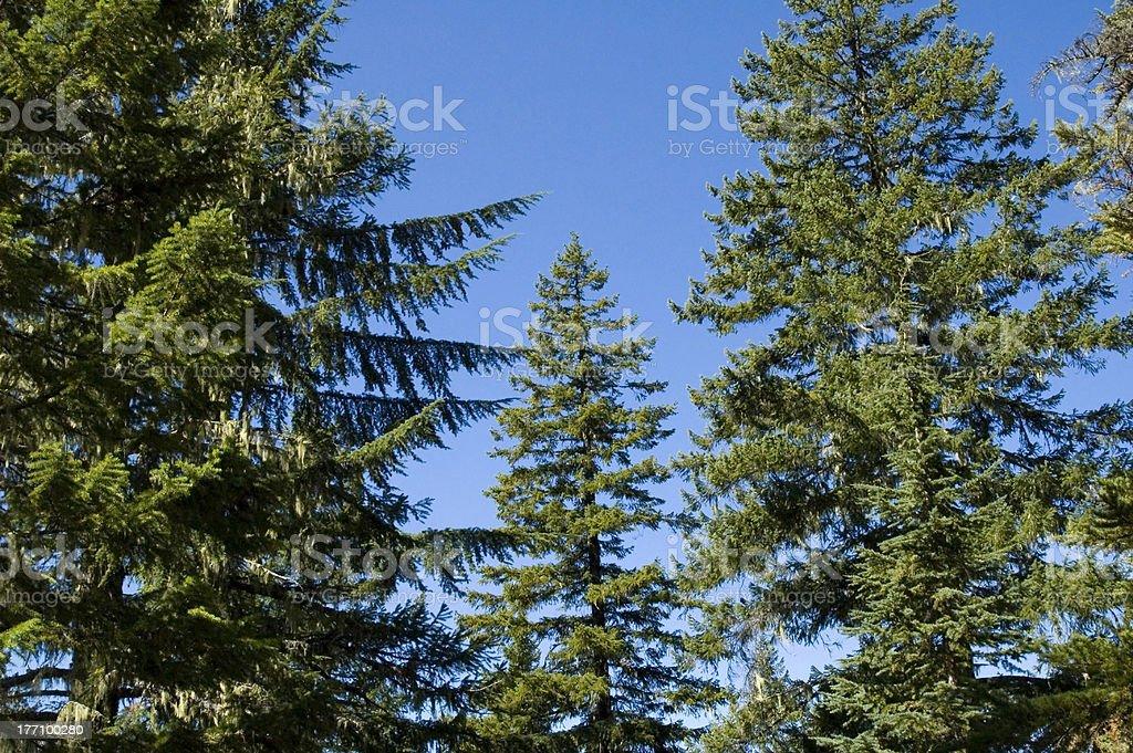Tall Conifers stock photo