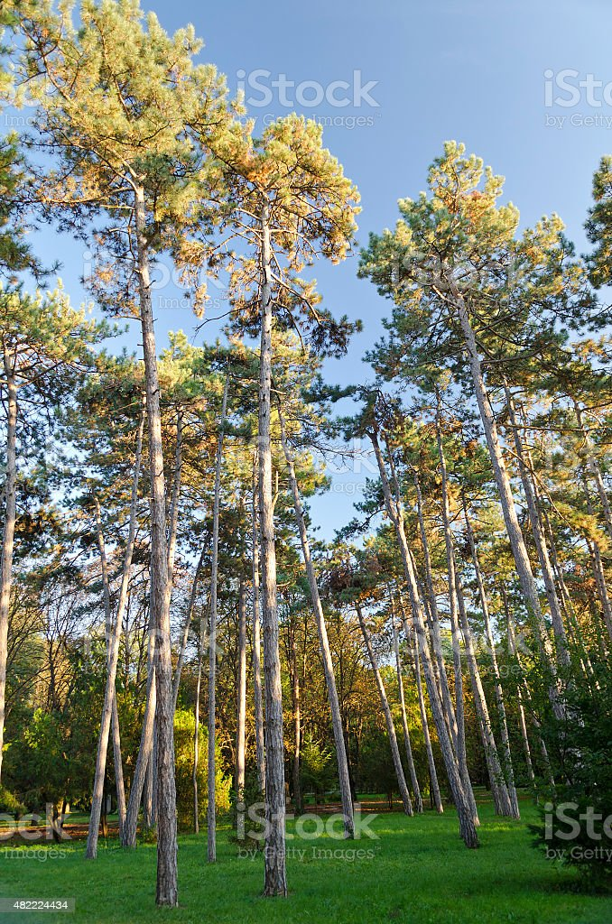 Tall Forest of Fir trees in the Park stock photo