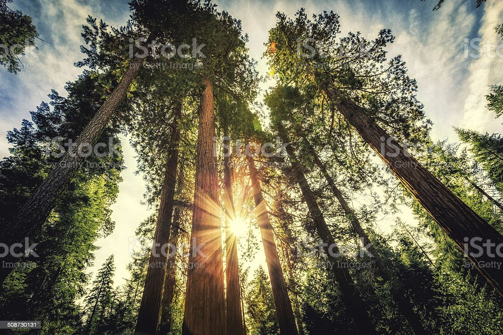 Tall Forest of Sequoias stock photo