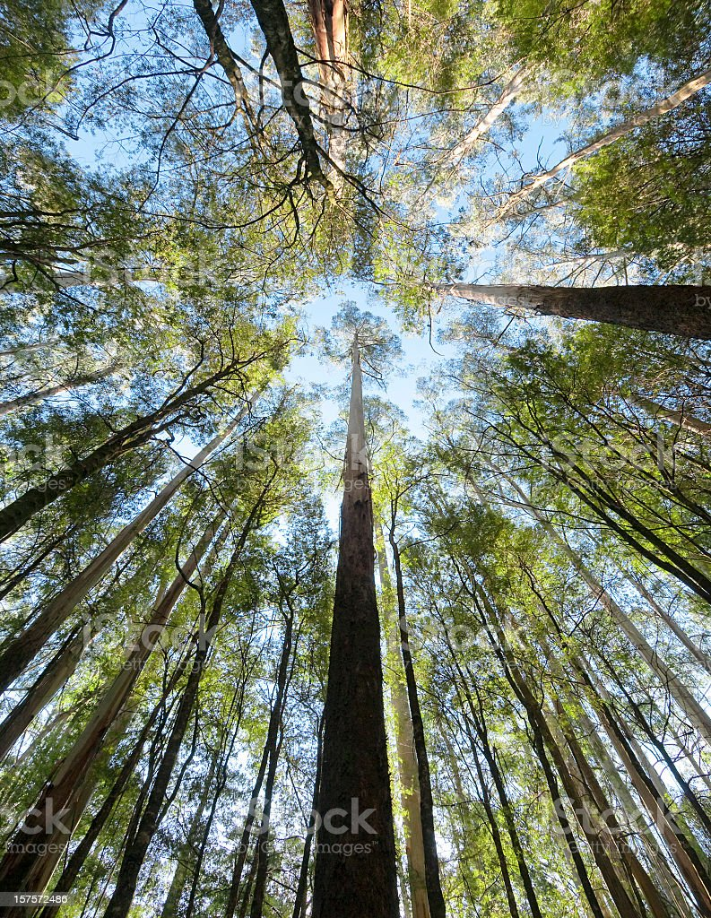 Tall Forest Up Above royalty-free stock photo
