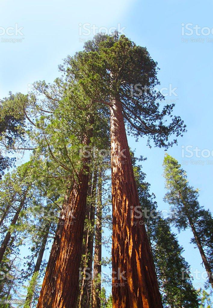 Tall Giant Sequoia Trees stock photo