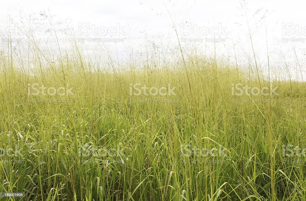 Tall grass in a field royalty-free stock photo