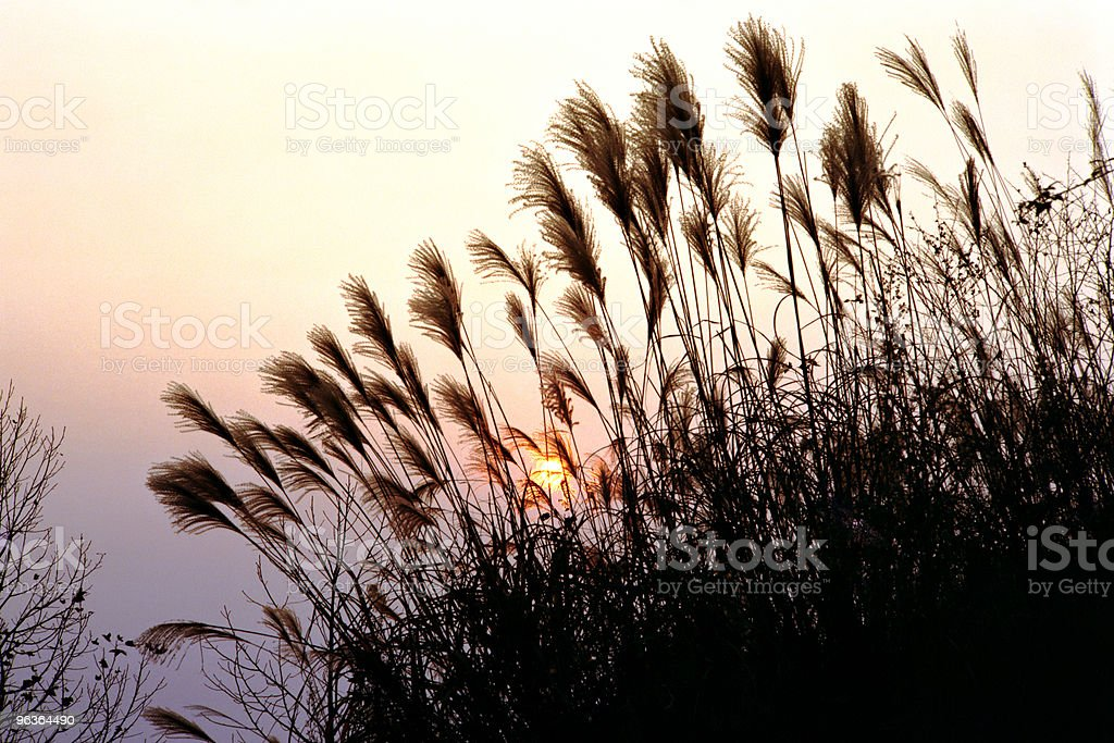 Tall grass in sunset stock photo